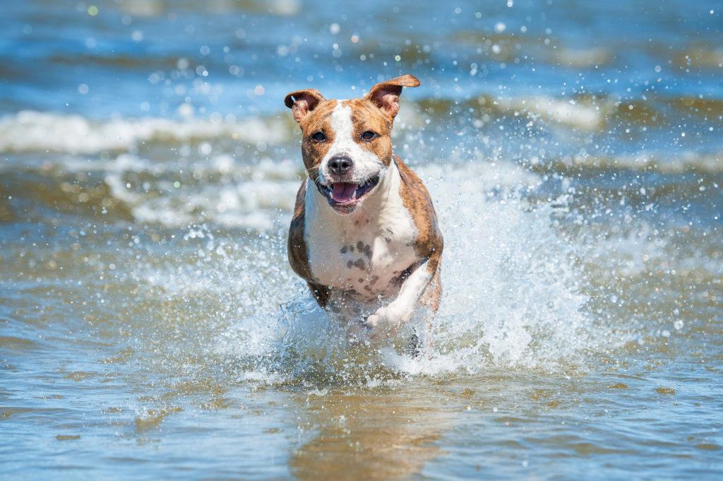 dog runs in sea