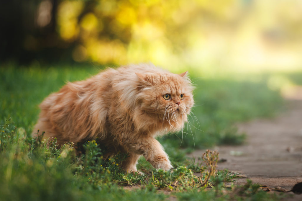 Ginger persian cat exploring