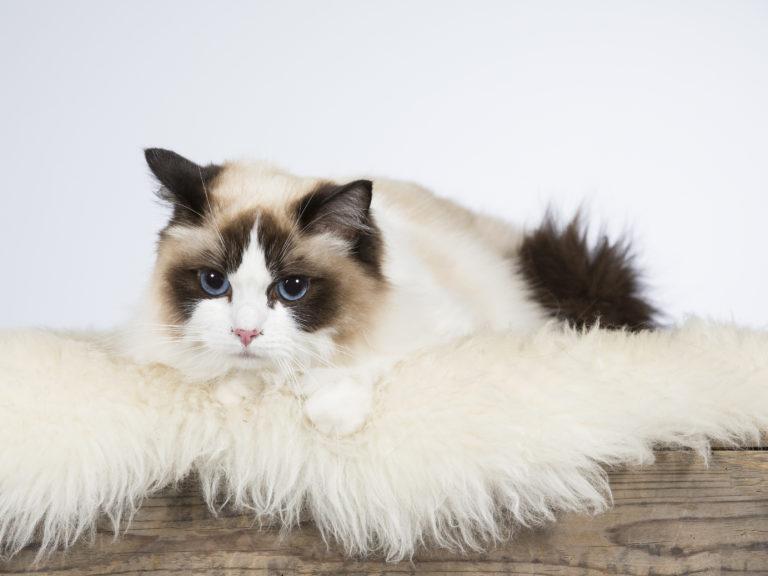 ragdoll cat breed portrait