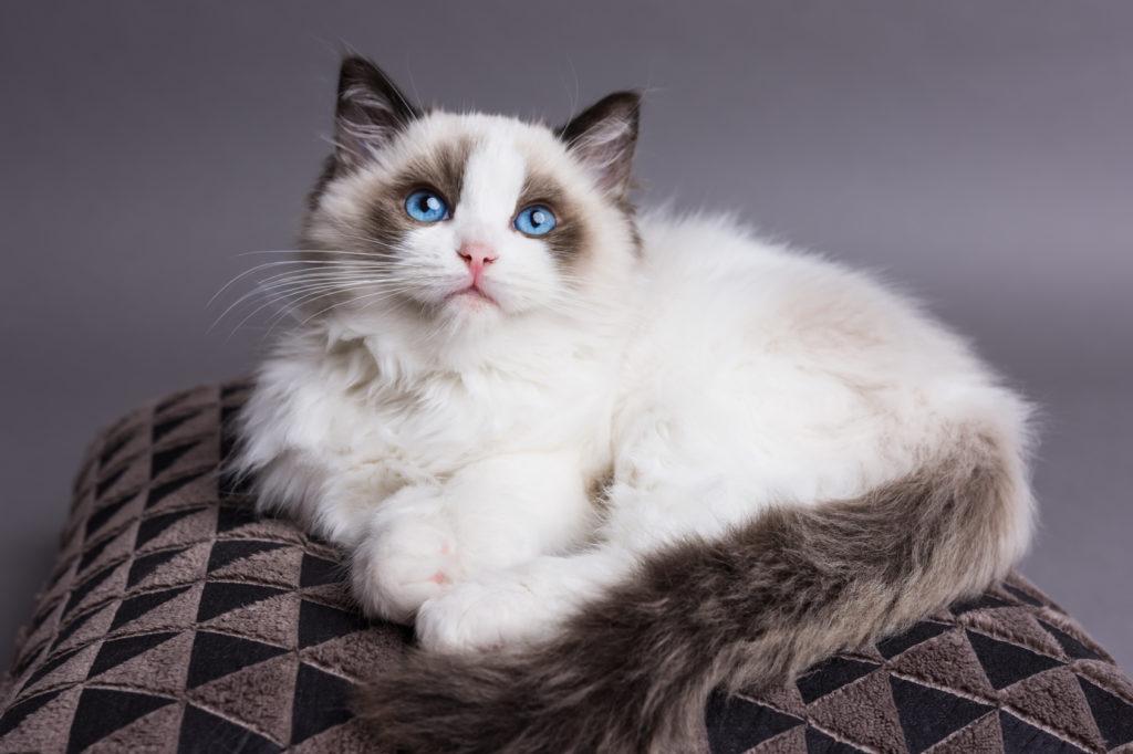 Ragdoll kitten beautiful blue eyes