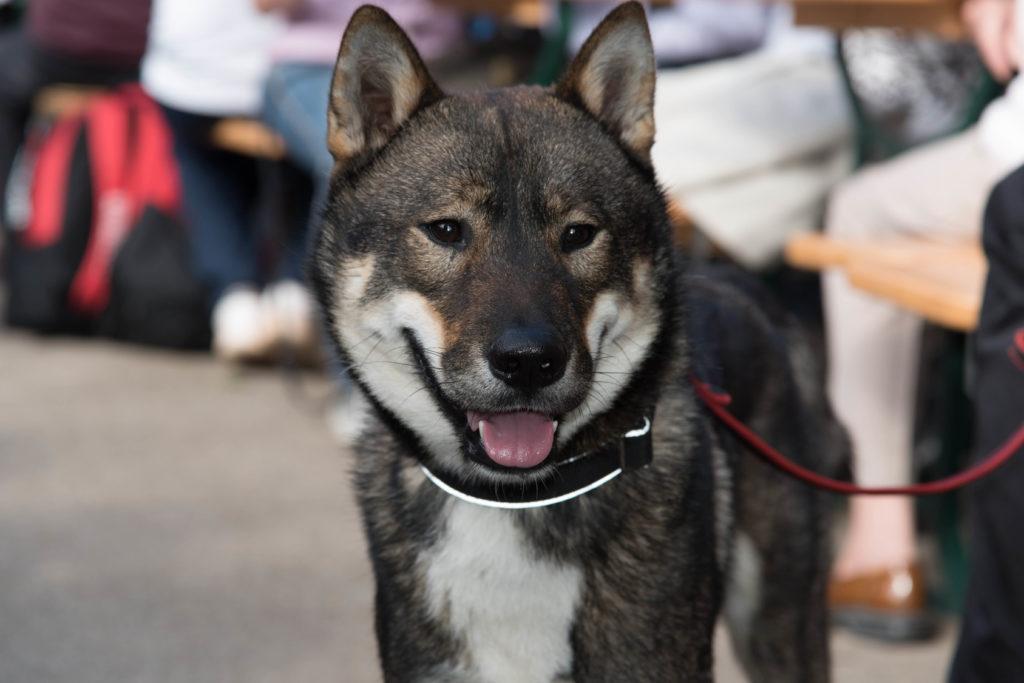 Shikoku dog face