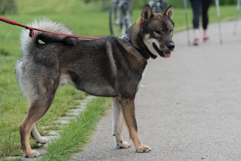 Shikoku dog breed japanese