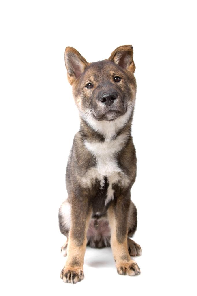 Shikoku puppy dog