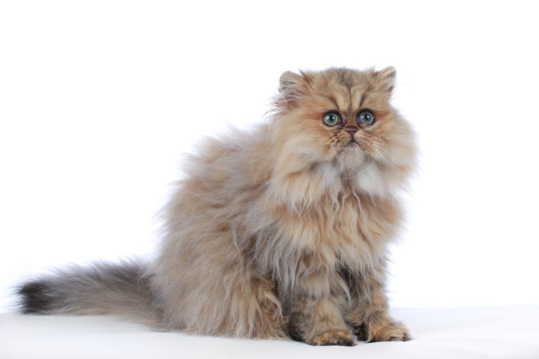 Persian cat golden shaded