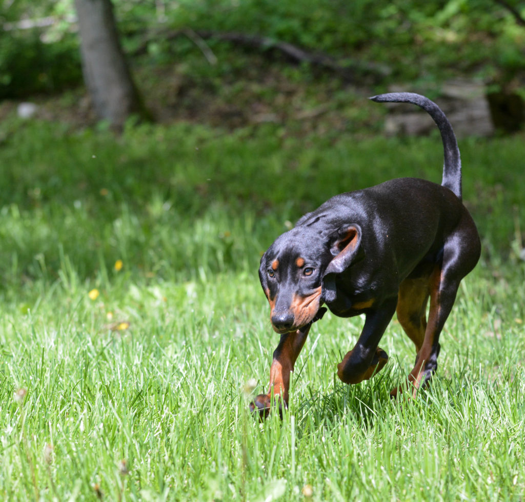 coonhound working