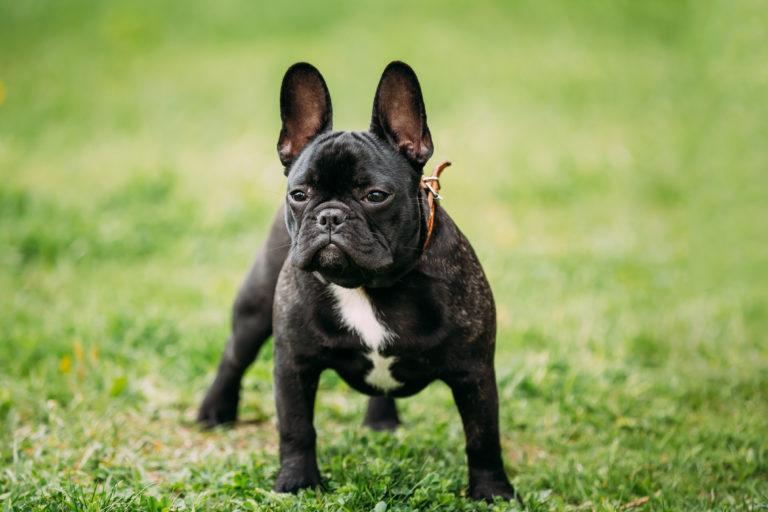 Black French Bulldog Dog In Green Grass