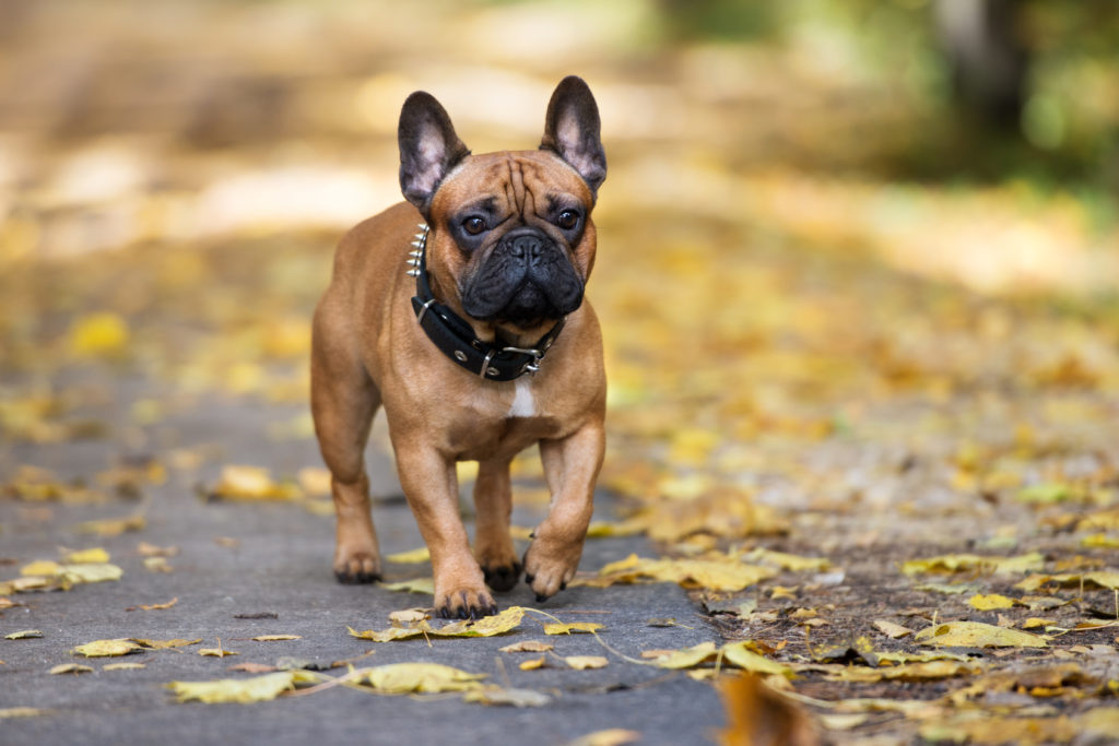 french bulldog walking in the park in autumn