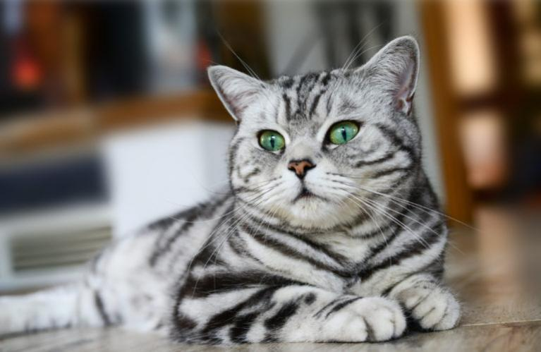 british shorthair green eyes