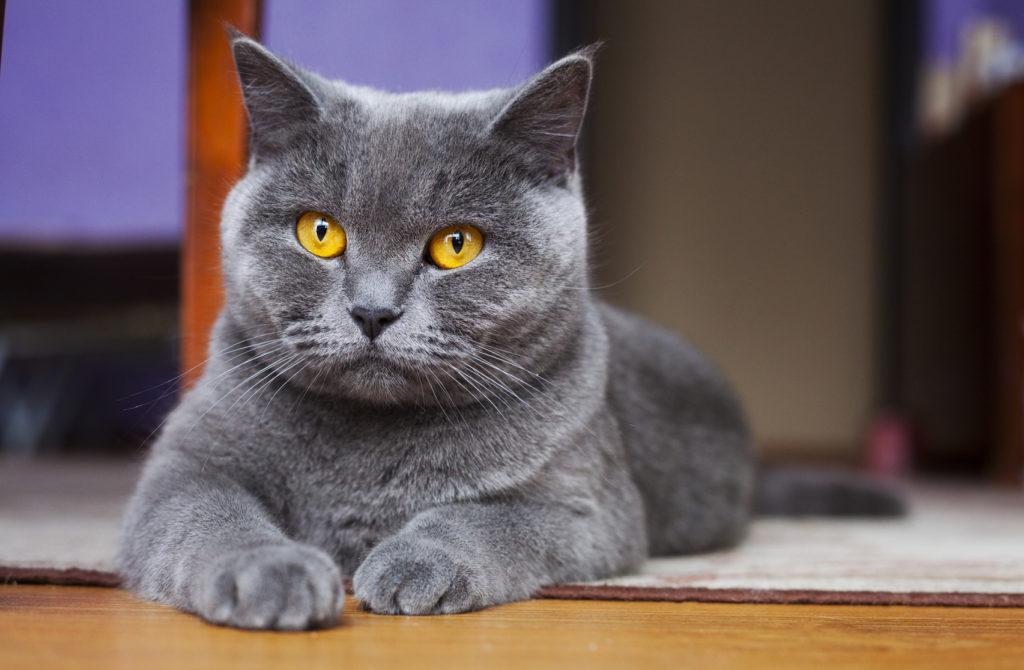 British shorthair yellow eyes