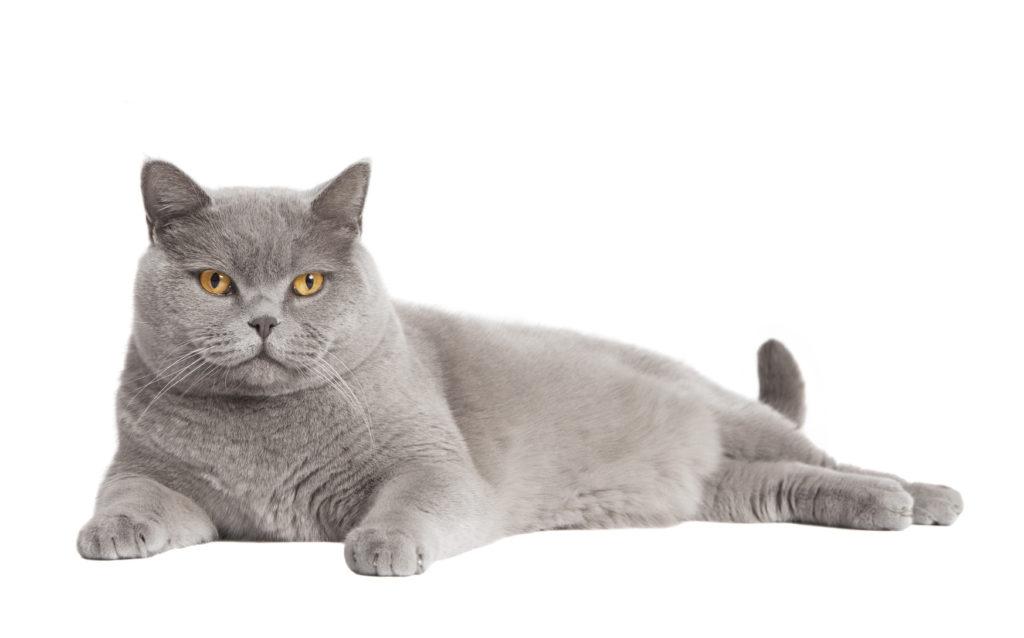 breeder cat
