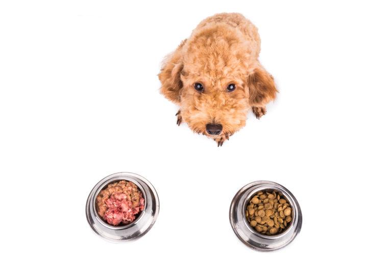 Poodle choosing between barf dog food and dry dog food