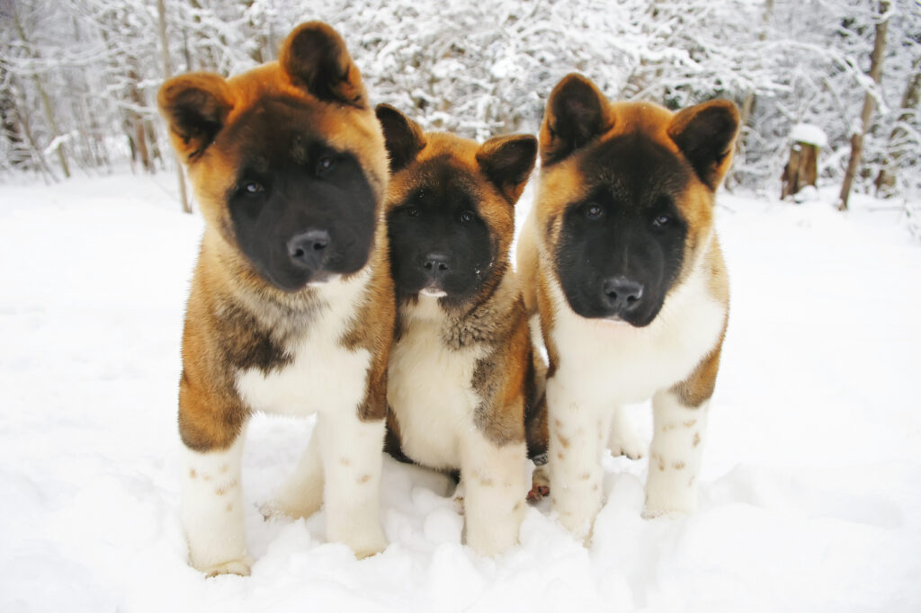 Three curious American Akita puppies posing outdoors on a snow in winter forest