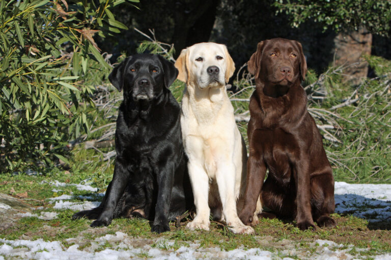 brown, black and cream labrador retriever