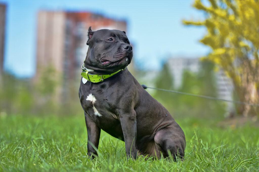 American Bulldog Breed