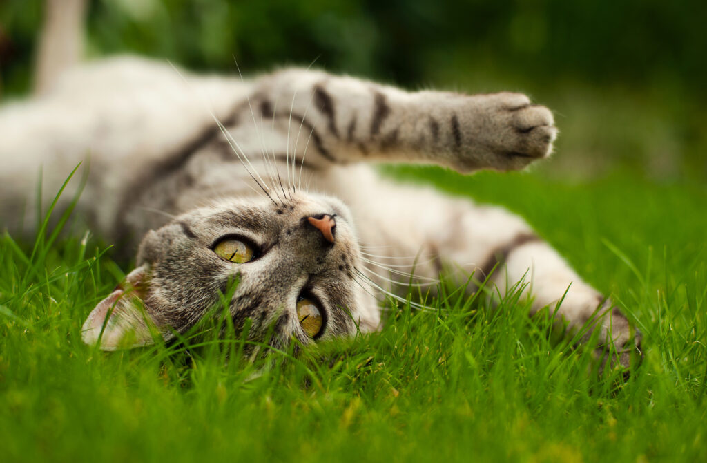 Cat rolling on grass