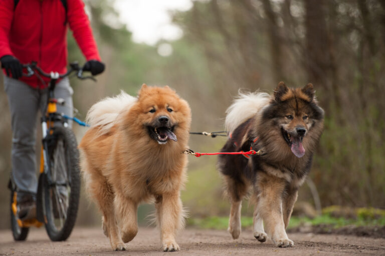 Cycling with 2 dogs