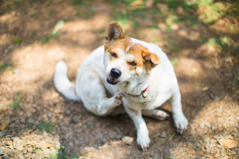 allergies affecting dogs
