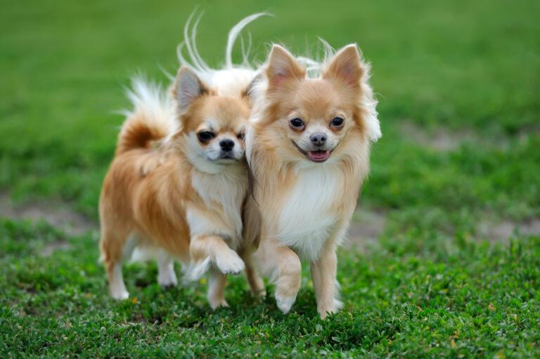 Chihuahua UK