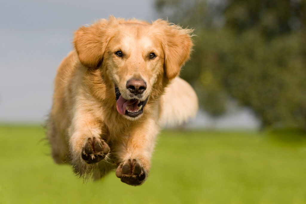 golden retriever jumping