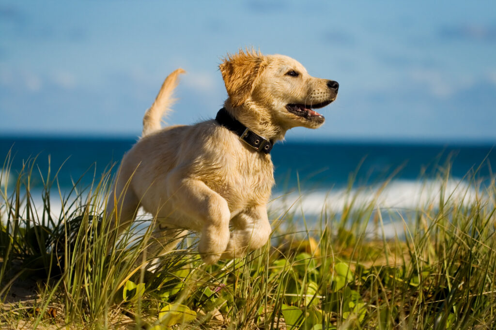 labrador by the sea