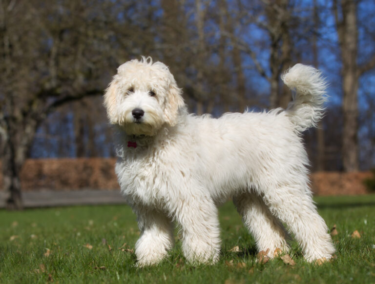 Labradoodle dog outdoors in nature
