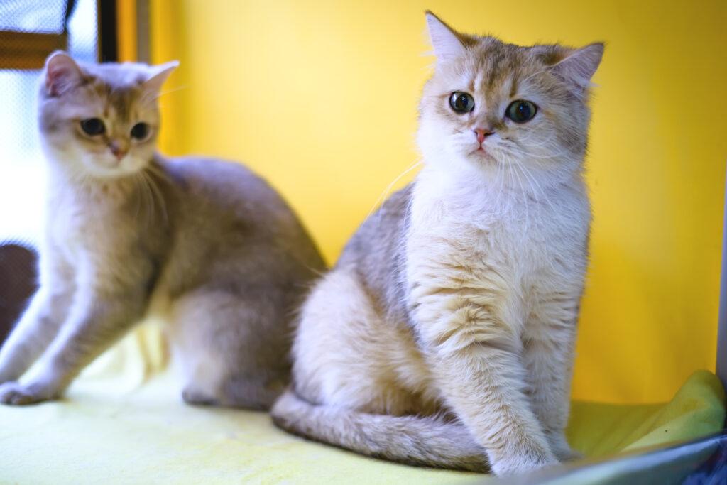 2 Burmilla Shorthair Cats sitting