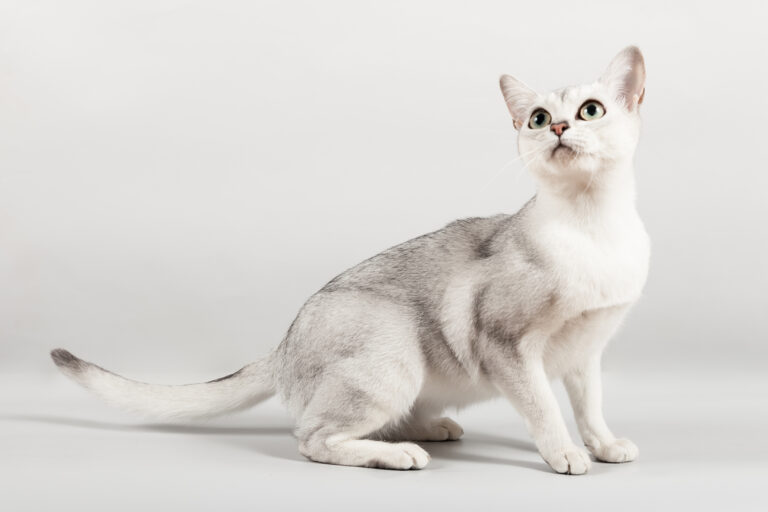 white and silver Burmilla Shorthair cat breed sitting