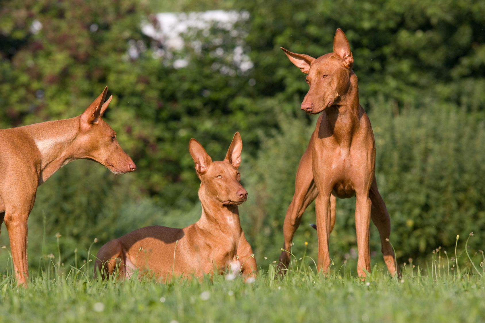 Pharaoh Hound's in a maedow