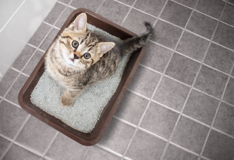kitten with diarrhea in top entry cat litter tray