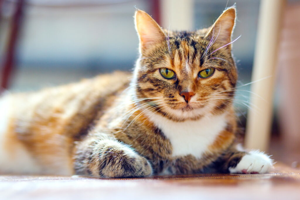 Multi-coloured American Shorthair Cat