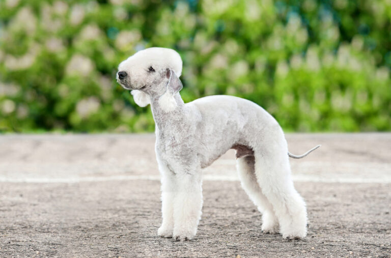 Bedlington terrier dog