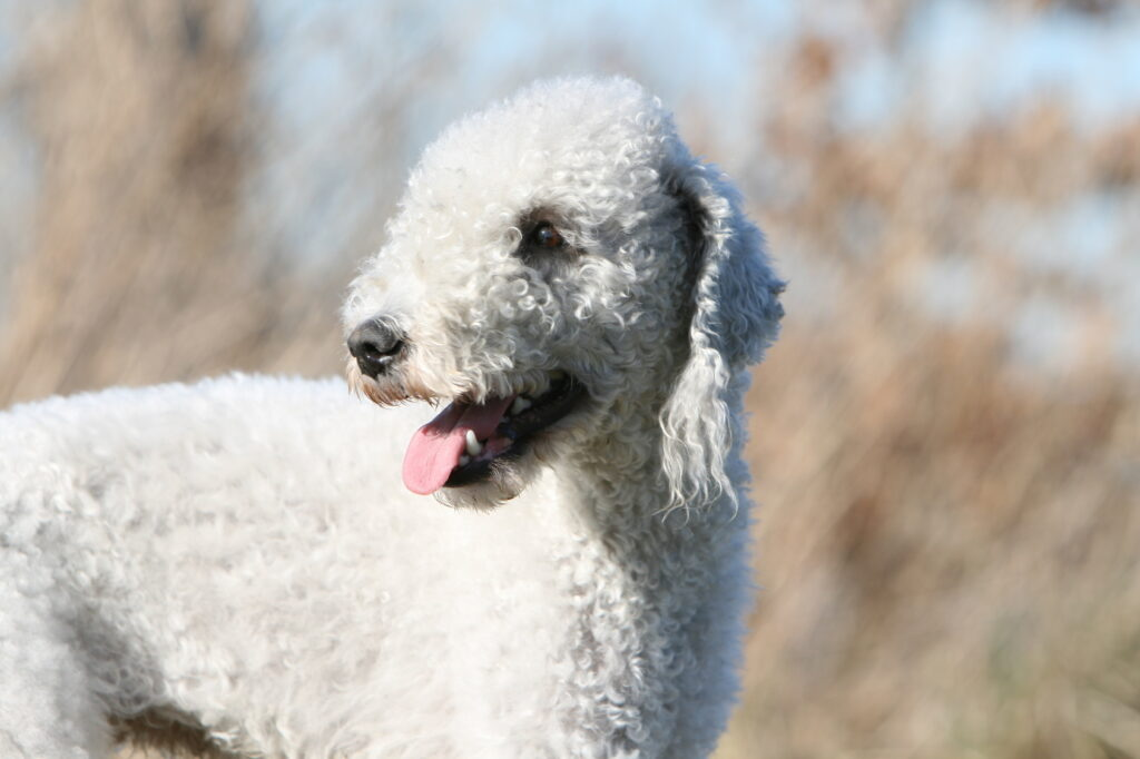 White Bedlington Terrier