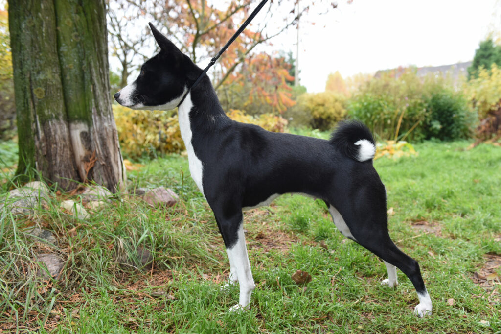 black and white Basenji dog