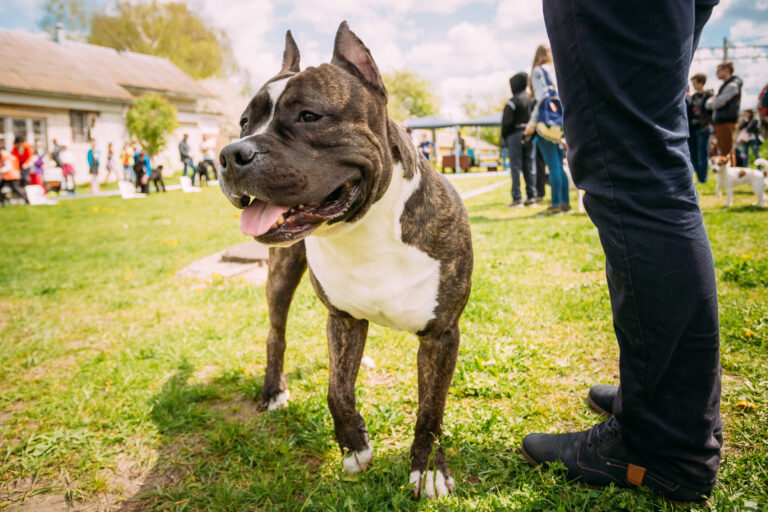 Dog American Staffordshire Terrier on Training Outdoor