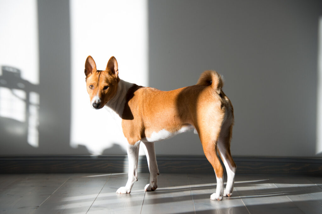 red brown basenji
