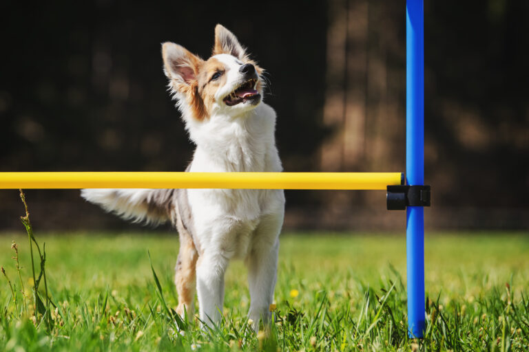 Agility for small dogs