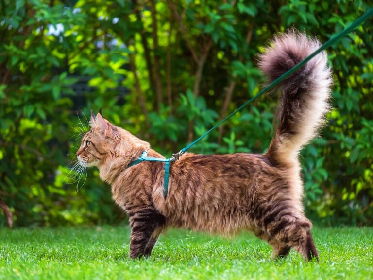 Maine Coon on a leash