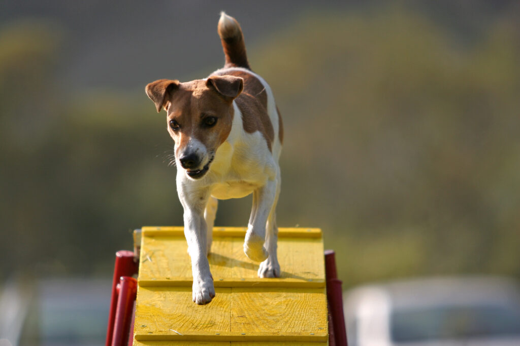 dog on ramp agility
