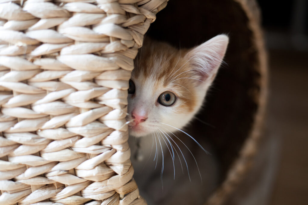 cat hiding in basket meowing