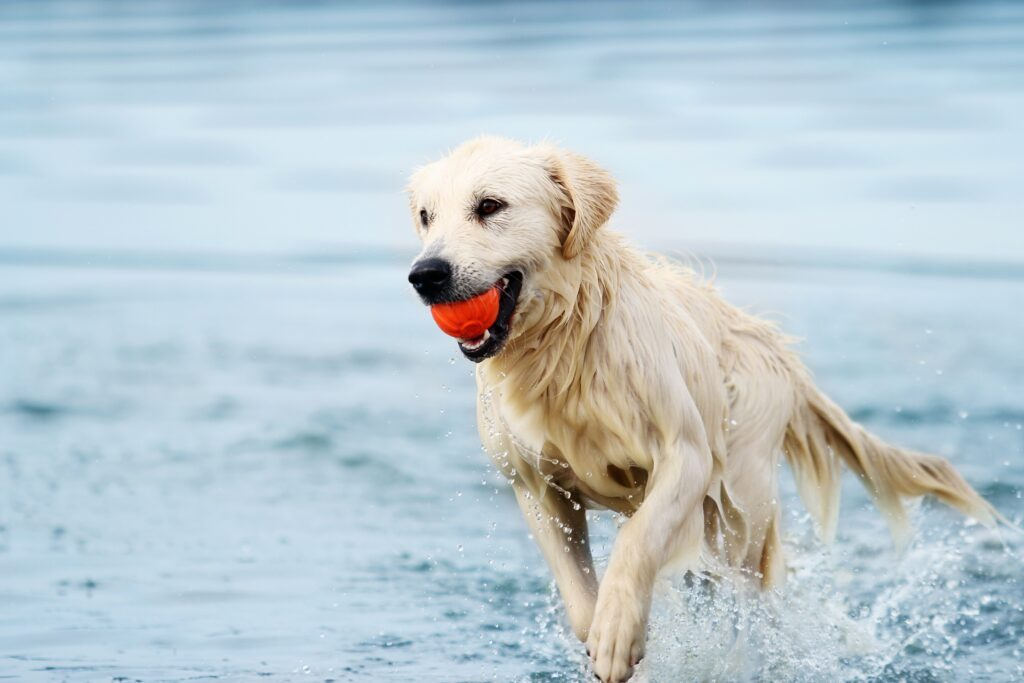 dog plays with ball in sea