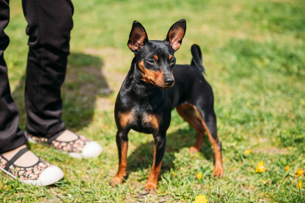 Mini Pinscher on lawn