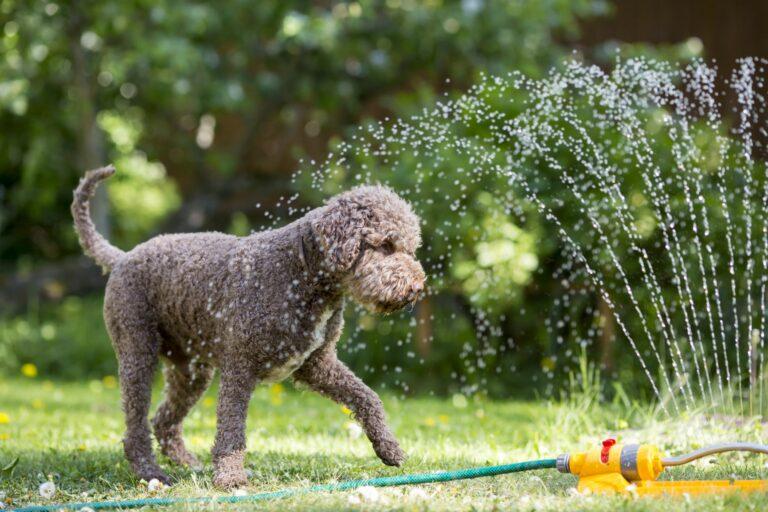 dog in garden sprinkler