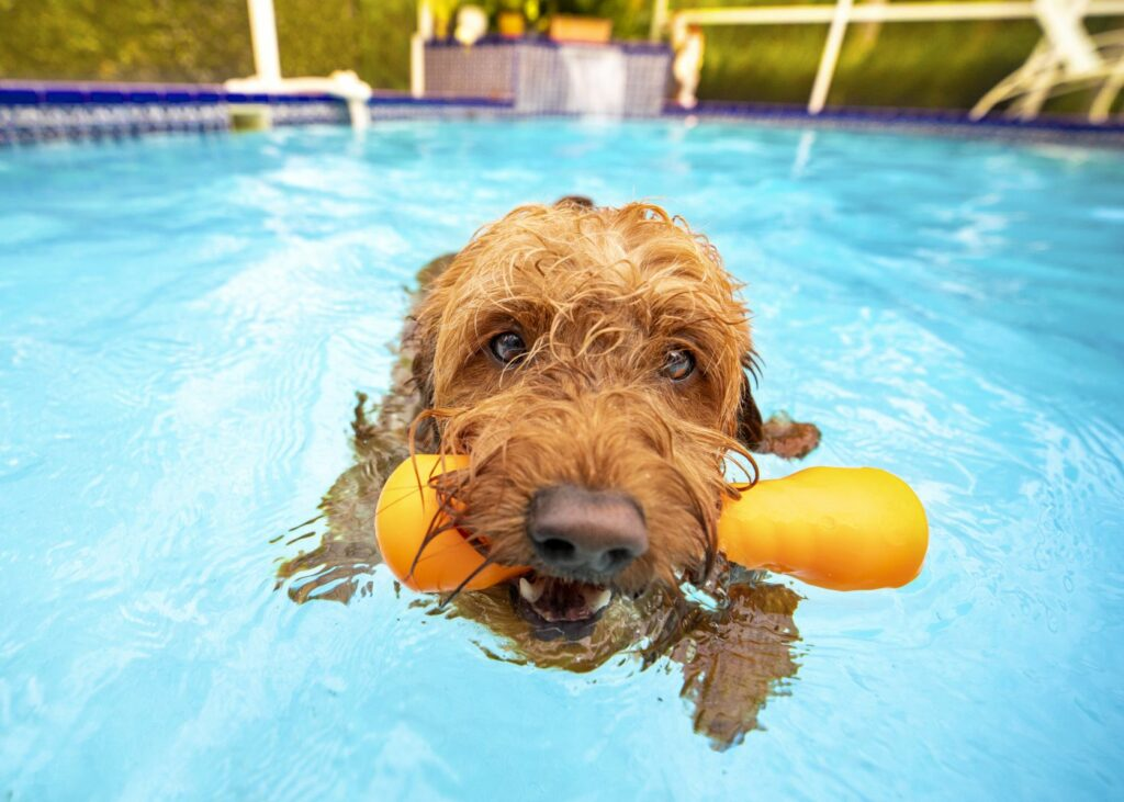 goldendoodle in pool with dog toy