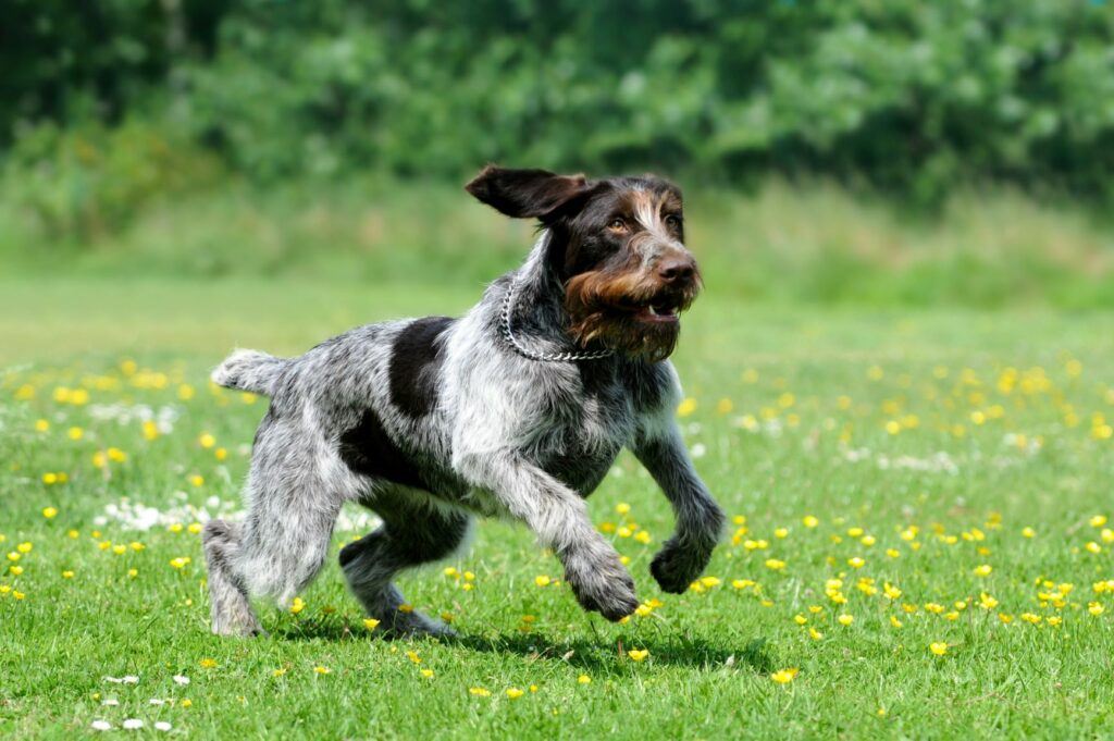 jumping german wirehaired pointer