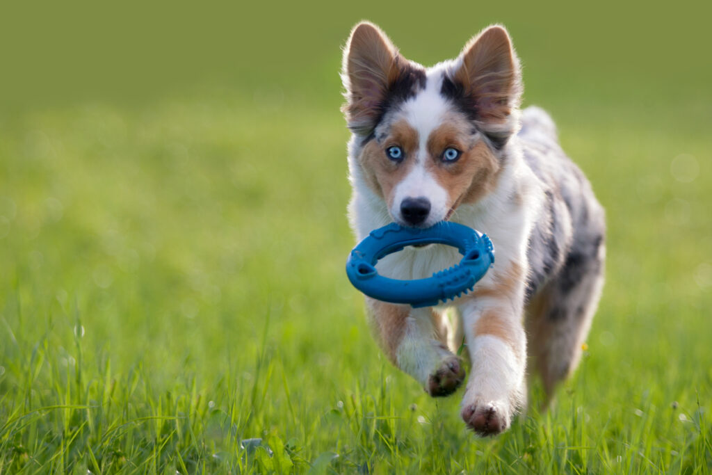 puppy playing frisbee