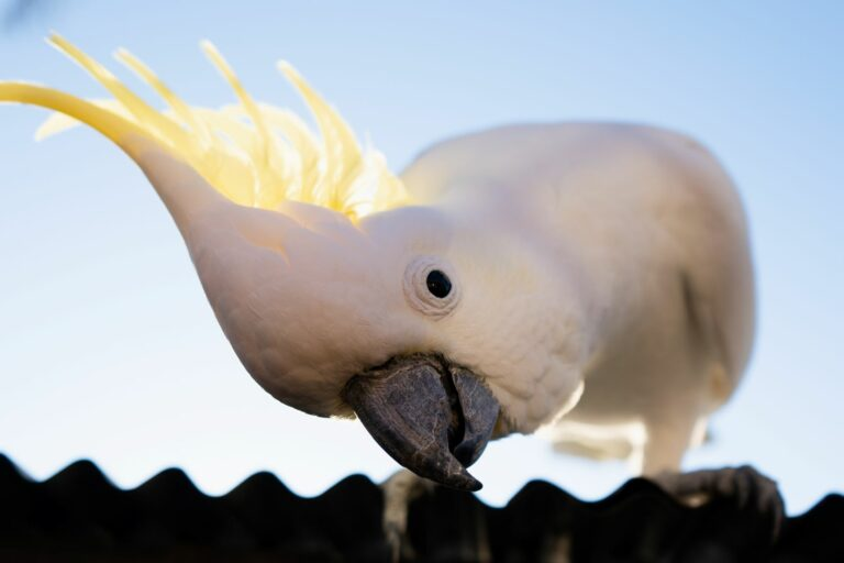 Curious and intelligent cockatoo