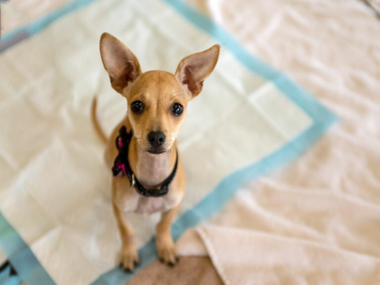 Chihuahua puppy looking up on a dog training pad.