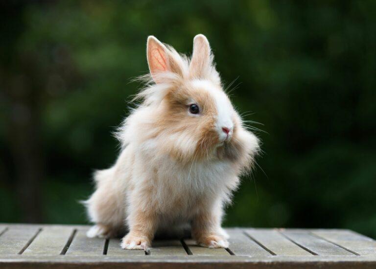 bicoloured lionhead rabbit