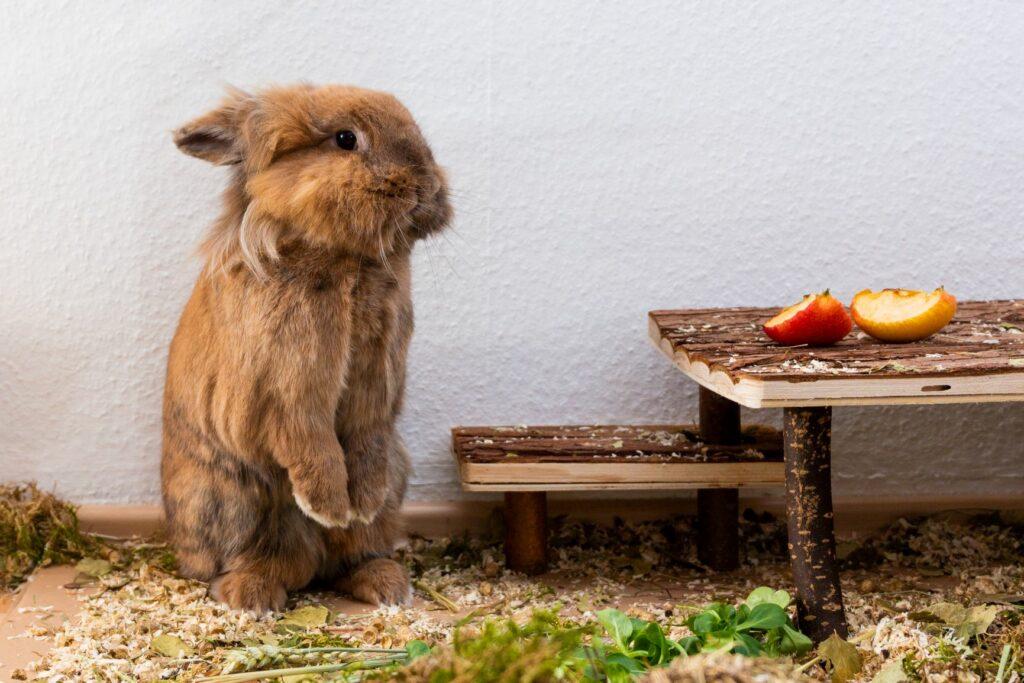 brown lionhead rabbit