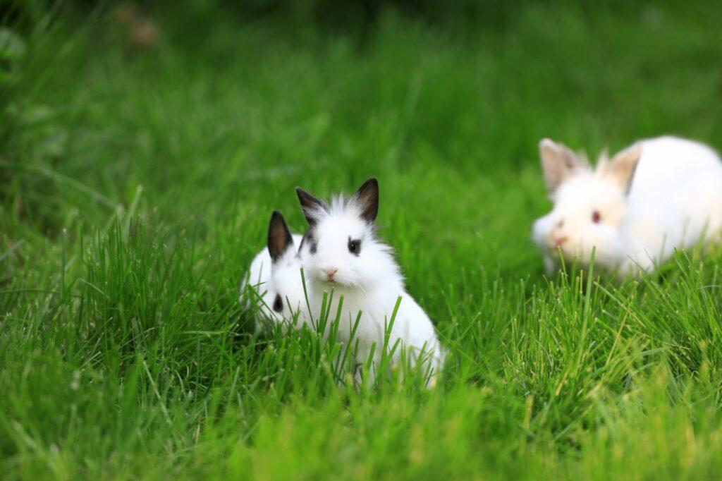 lionhead bunnies on lawn